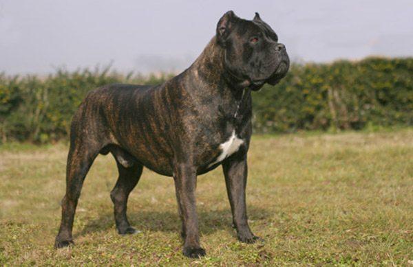 Storia del cane corso il cane dei briganti la verit di for Tequila e bonetti cane razza