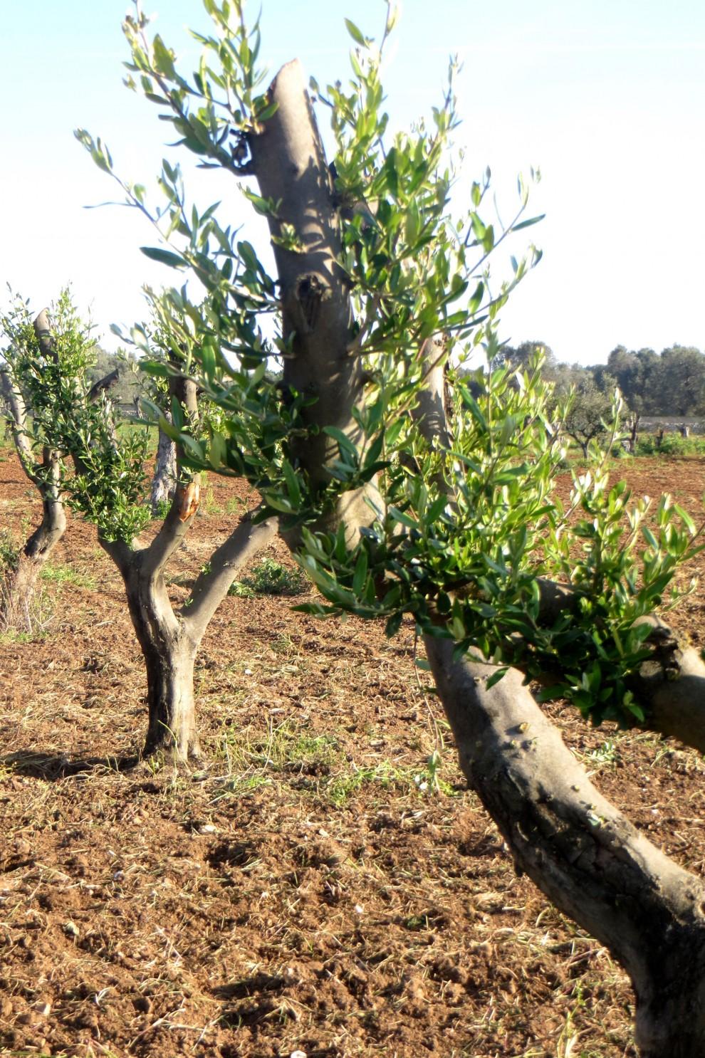 La-ripresa-vegetativa-degli-ulivi-990x1486