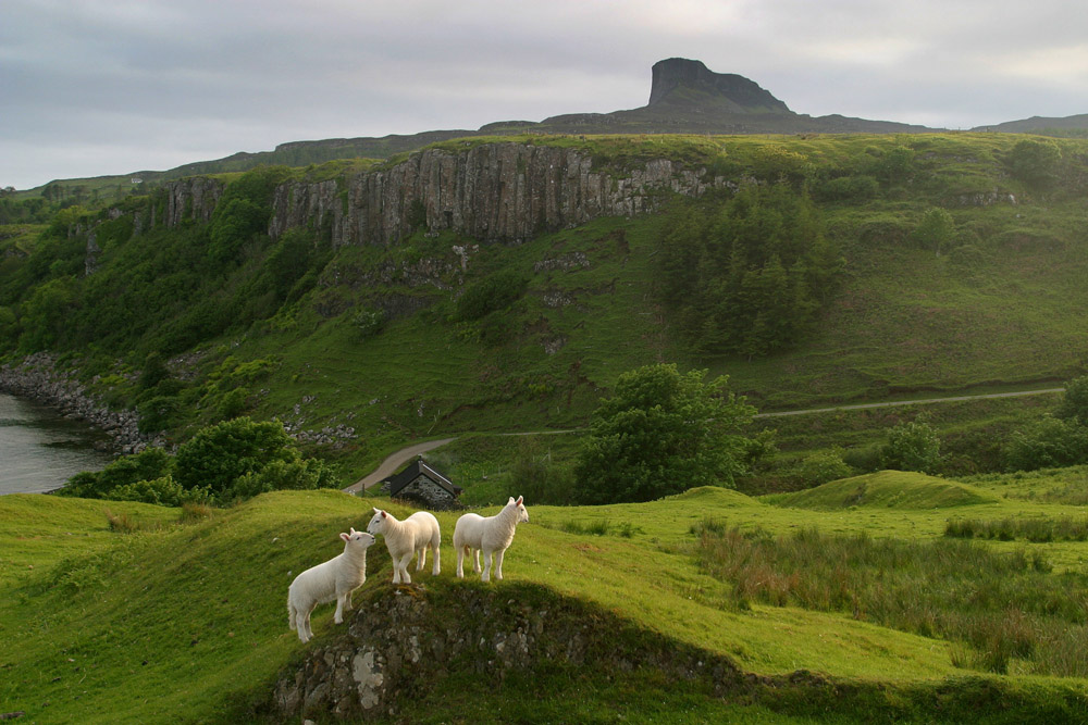 Lambs playing on an evening at Kildonan on the Hebridean island of Eigg with the Sgurr of Eigg, the island's highest point, visible in the background. The island of Eigg was one of a chain of islands which lie of Scotland's west coast and was accessible by a state-run lifeline service from the mainland. The residents on Eigg organised a buy-out of the island in the late 1990s and took it into community ownership.