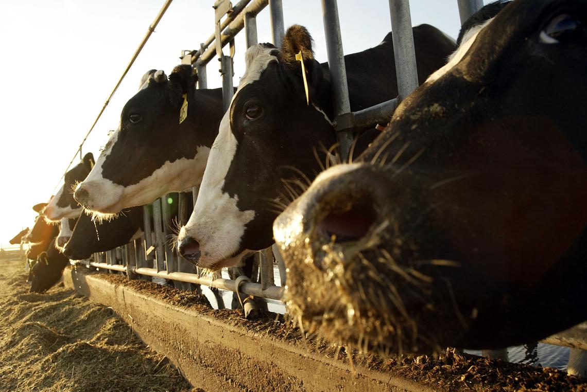 glifosato-germania-mucche