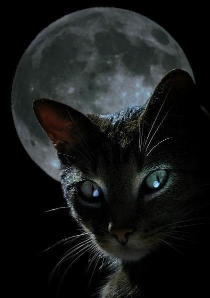 gatto-nero-foto-12
