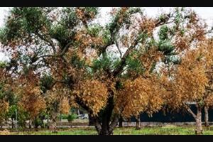 Xylella: una sceneggiata pilotata dalla Monsanto per sterminare i nostri ulivi?