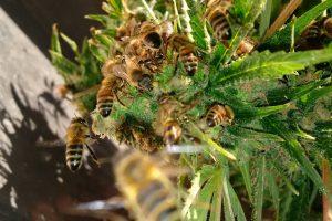 L'uomo che ha trovato il modo di far produrre alle api miele alla marijuana