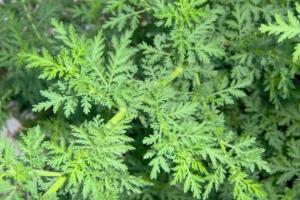 Le fantastiche proprietà terapeutiche dell'Artemisia