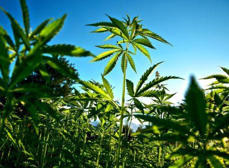 Coldiretti: la cannabis può portare 10mila posti di lavoro