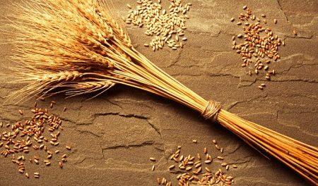 Salvate 16 varietà di grani antichi siciliani dai 'pirati' del brevetto
